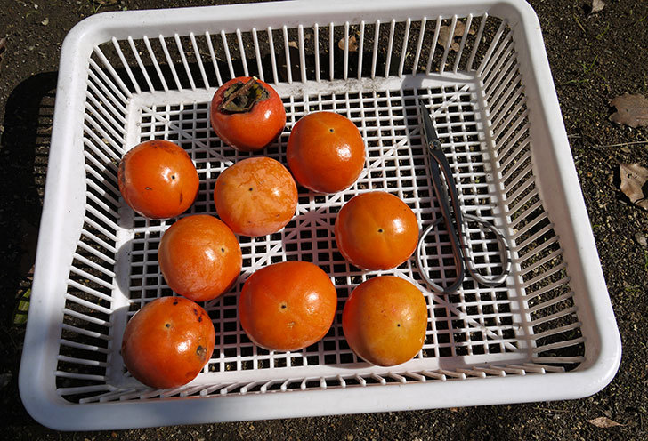 食べ頃の柿を収穫した4.jpg
