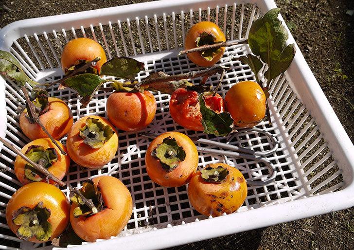 食べ頃の柿を収穫した5.jpg
