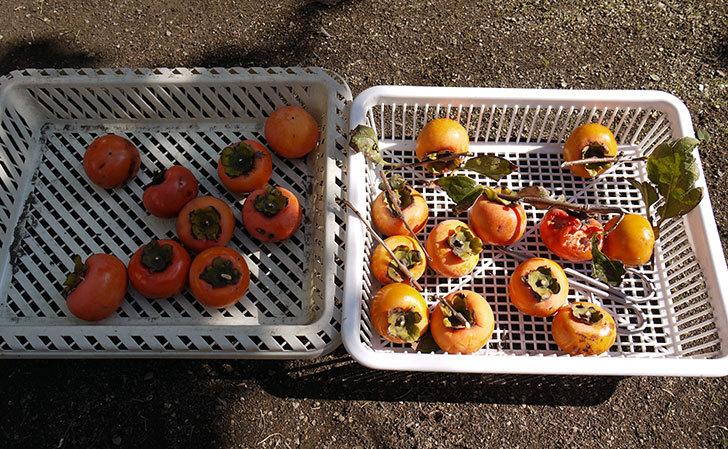 食べ頃の柿を収穫した6.jpg