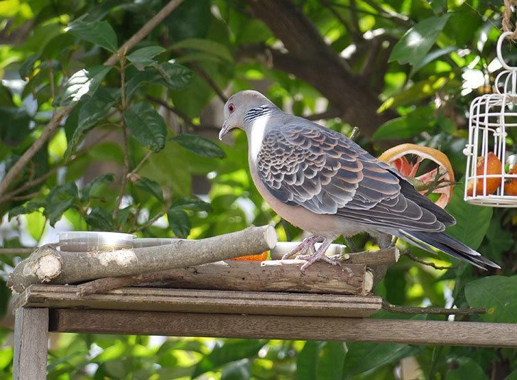 鳥の餌台にキジバトが来た1.jpg