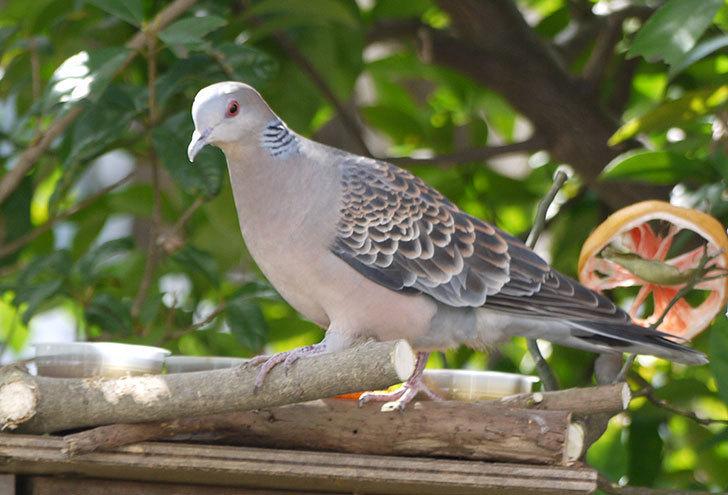 鳥の餌台にキジバトが来た2.jpg