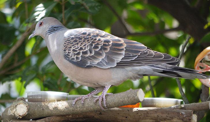 鳥の餌台にキジバトが来た3.jpg