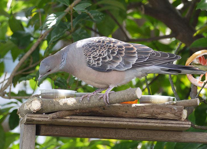 鳥の餌台にキジバトが来た4.jpg