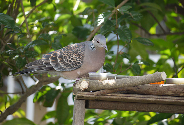 鳥の餌台にキジバトが来た5.jpg