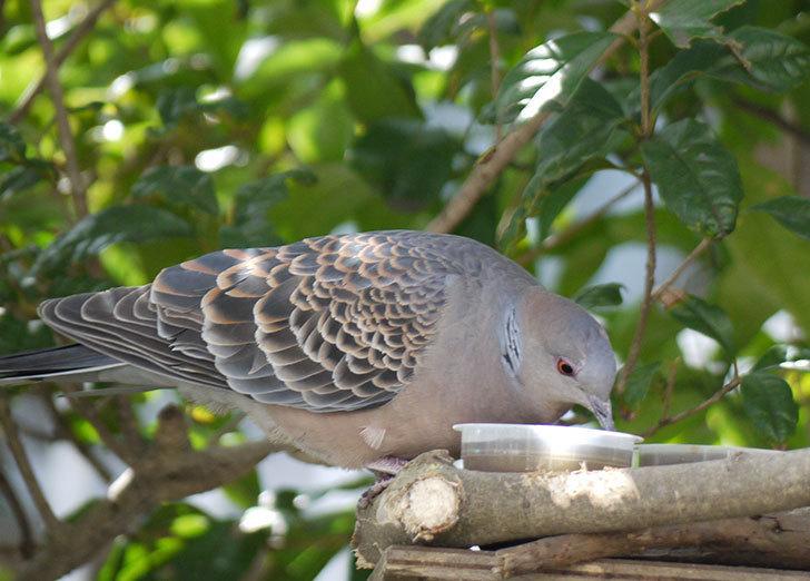 鳥の餌台にキジバトが来た6.jpg