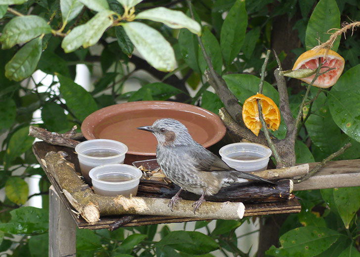鳥の餌台にヒヨドリが来た1.jpg