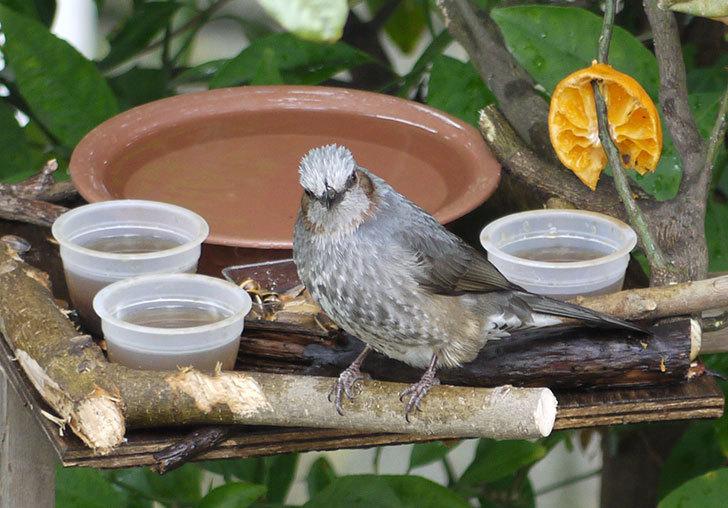 鳥の餌台にヒヨドリが来た2.jpg