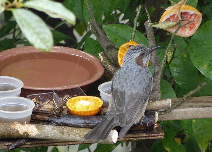 鳥の餌台にヒヨドリが来た3.jpg