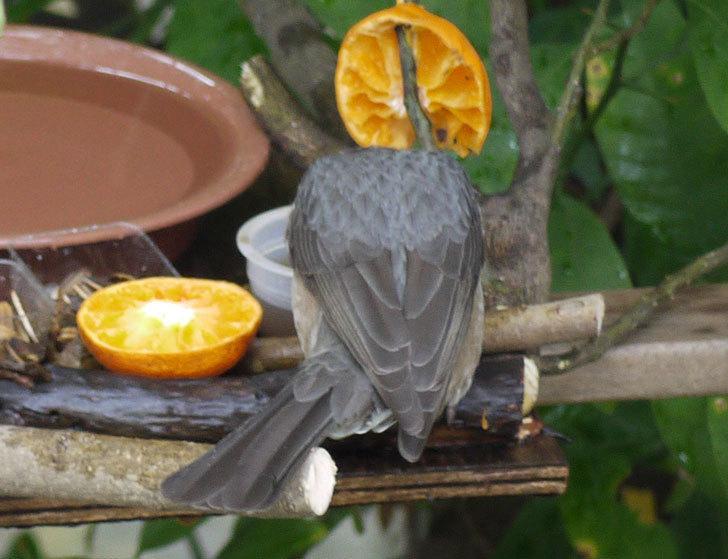 鳥の餌台にヒヨドリが来た4.jpg