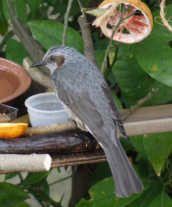 鳥の餌台にヒヨドリが来た5.jpg