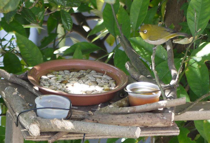 鳥の餌台にメジロが来た1.jpg