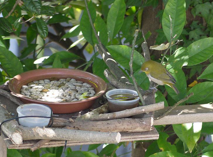 鳥の餌台にメジロが来た3.jpg