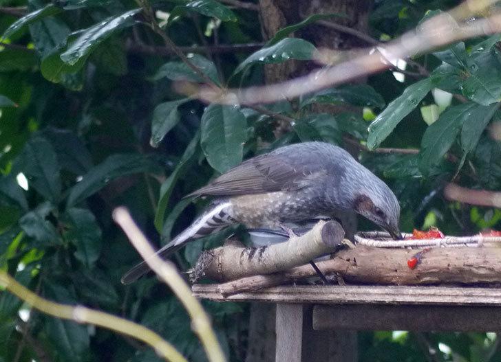 鳥の餌台に置いた柿を食べにヒヨドリが来た2.jpg