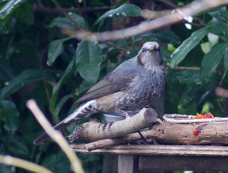 鳥の餌台に置いた柿を食べにヒヨドリが来た3.jpg