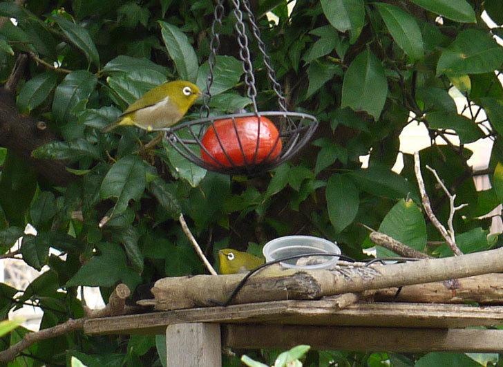 鳥の餌台に置いた柿を食べにメジロが来た1.jpg