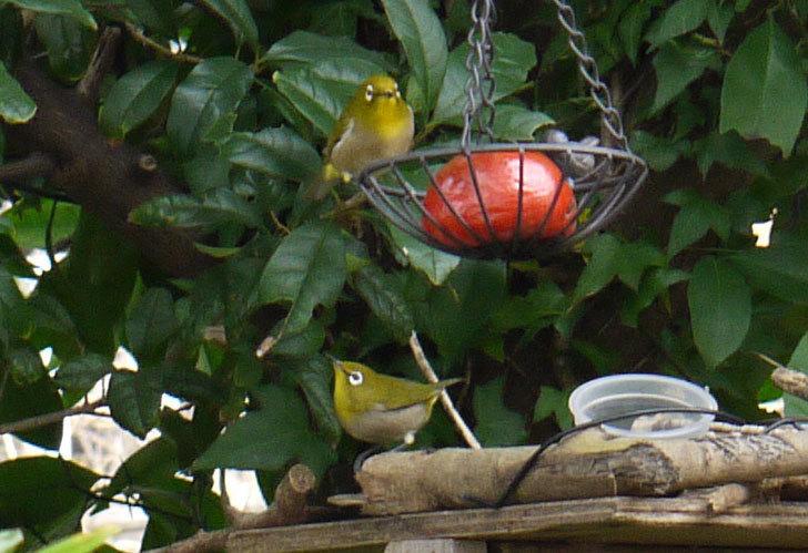 鳥の餌台に置いた柿を食べにメジロが来た3.jpg
