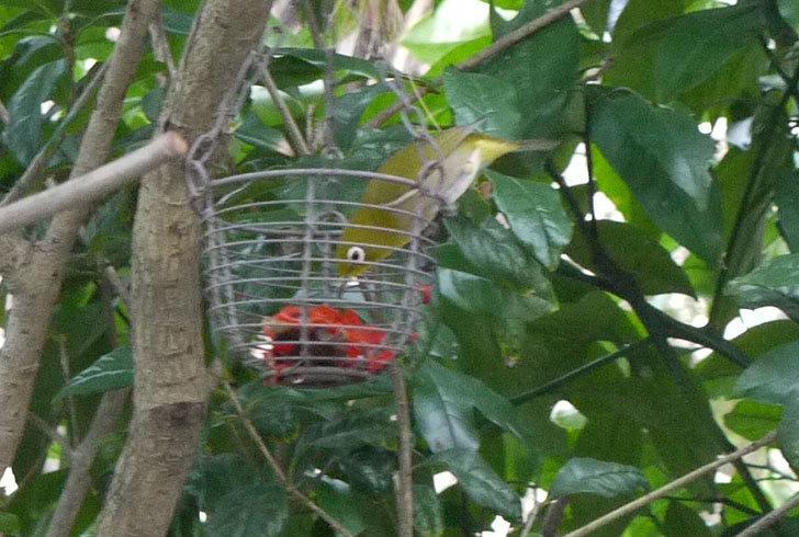 鳥の餌台に置いた柿を食べにメジロが来た5.jpg
