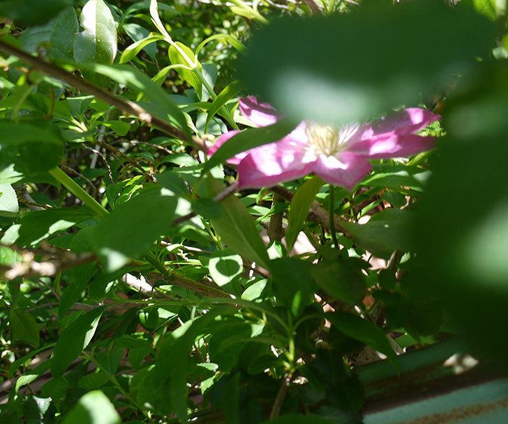 麻生(アサオ)(早咲き大輪系-パテンス系 旧枝咲き)の花が咲いた。2017年-3.jpg