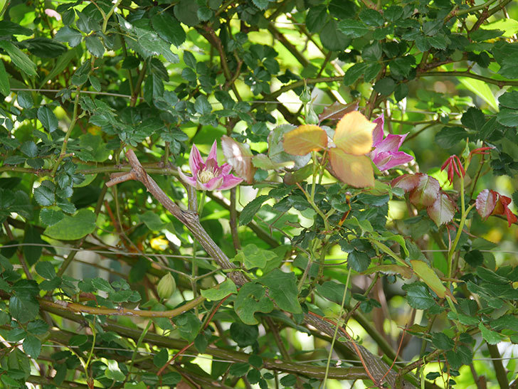 麻生(アサオ)(早咲き大輪系 パテンス系 旧枝咲き)に2個目の花が咲いた。2021年-001.jpg