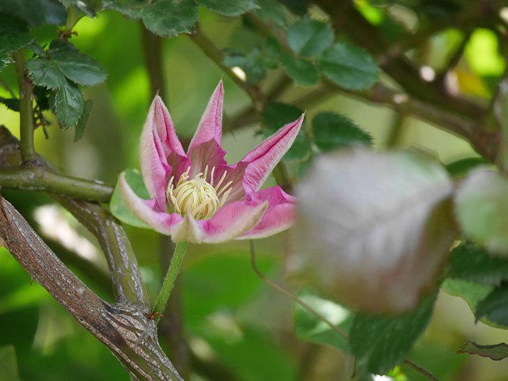 麻生(アサオ)(早咲き大輪系 パテンス系 旧枝咲き)に2個目の花が咲いた。2021年-002.jpg