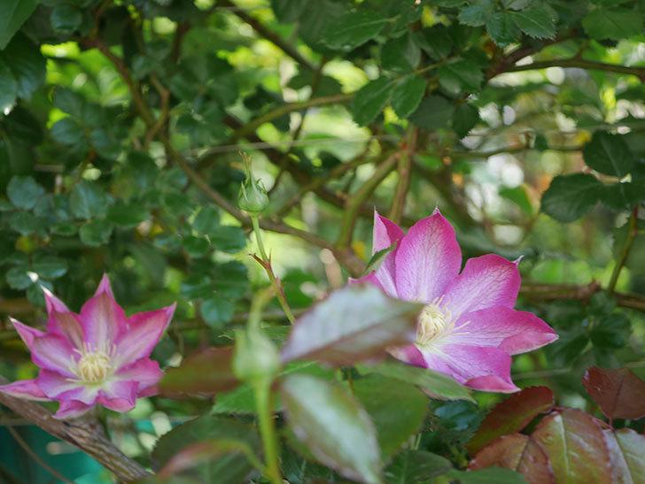 麻生(アサオ)(早咲き大輪系 パテンス系 旧枝咲き)に2個目の花が咲いた。2021年-017.jpg