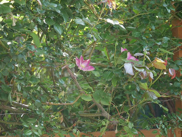 麻生(アサオ)(早咲き大輪系 パテンス系 旧枝咲き)に2個目の花が咲いた。2021年-024.jpg