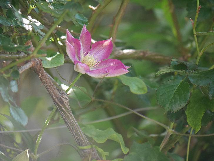 麻生(アサオ)(早咲き大輪系 パテンス系 旧枝咲き)に2個目の花が咲いた。2021年-025.jpg