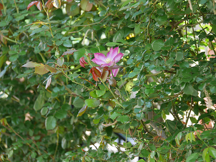 麻生(アサオ)(早咲き大輪系 パテンス系 旧枝咲き)に2個目の花が咲いた。2021年-033.jpg