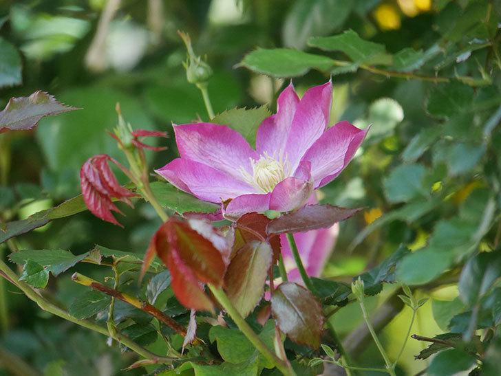 麻生(アサオ)(早咲き大輪系 パテンス系 旧枝咲き)に2個目の花が咲いた。2021年-035.jpg