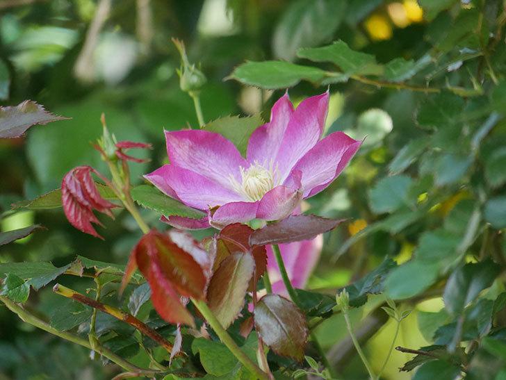 麻生(アサオ)(早咲き大輪系 パテンス系 旧枝咲き)に2個目の花が咲いた。2021年-036.jpg
