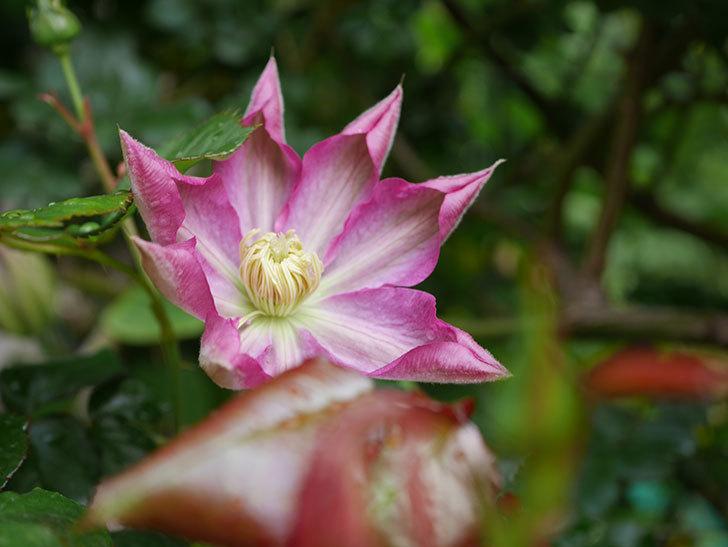 麻生(アサオ)(早咲き大輪系 パテンス系 旧枝咲き)の花が咲いた。2021年-001.jpg