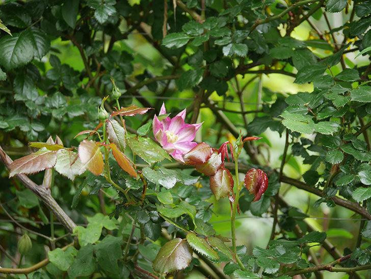 麻生(アサオ)(早咲き大輪系 パテンス系 旧枝咲き)の花が咲いた。2021年-009.jpg