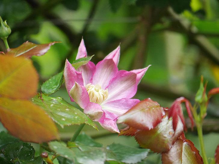 麻生(アサオ)(早咲き大輪系 パテンス系 旧枝咲き)の花が咲いた。2021年-012.jpg
