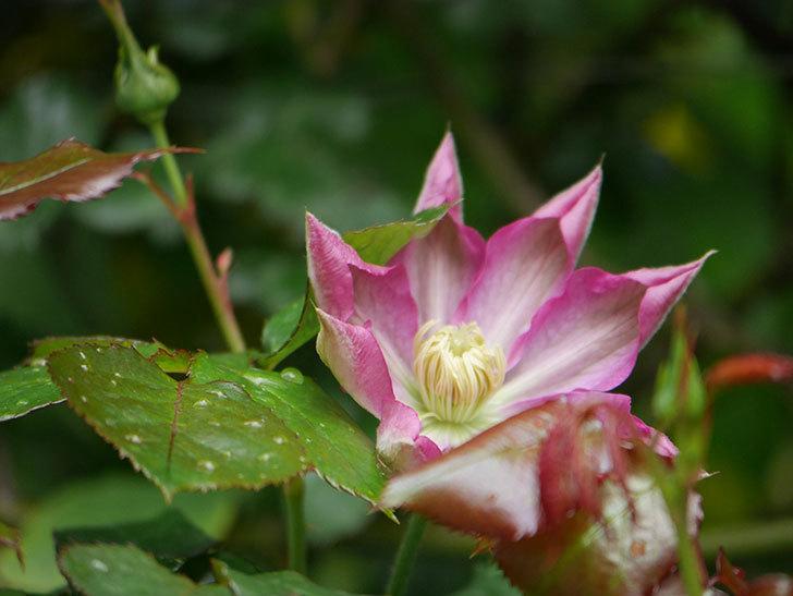 麻生(アサオ)(早咲き大輪系 パテンス系 旧枝咲き)の花が咲いた。2021年-014.jpg