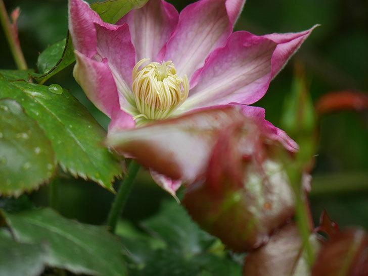 麻生(アサオ)(早咲き大輪系 パテンス系 旧枝咲き)の花が咲いた。2021年-017.jpg