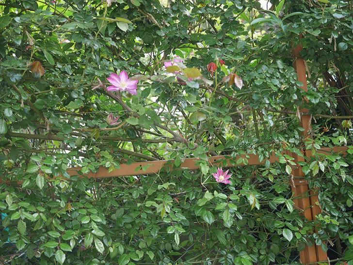 麻生(アサオ)(早咲き大輪系 パテンス系 旧枝咲き)の花が増えてきた。2021年-001.jpg