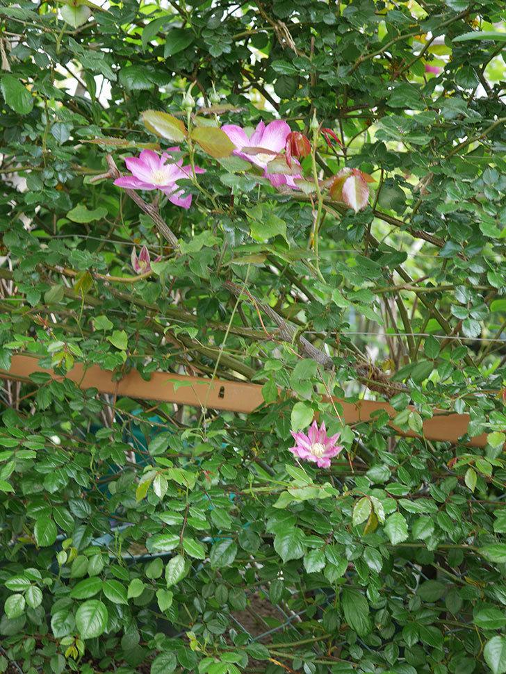 麻生(アサオ)(早咲き大輪系 パテンス系 旧枝咲き)の花が増えてきた。2021年-002.jpg