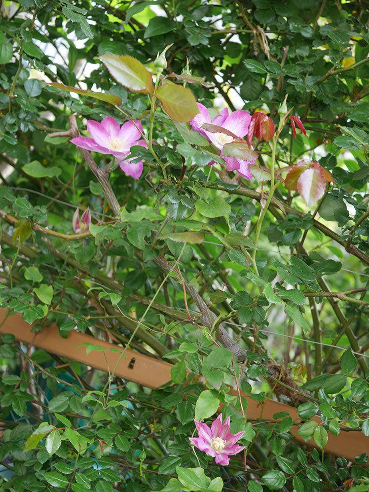 麻生(アサオ)(早咲き大輪系 パテンス系 旧枝咲き)の花が増えてきた。2021年-003.jpg