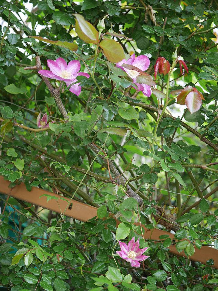 麻生(アサオ)(早咲き大輪系 パテンス系 旧枝咲き)の花が増えてきた。2021年-004.jpg