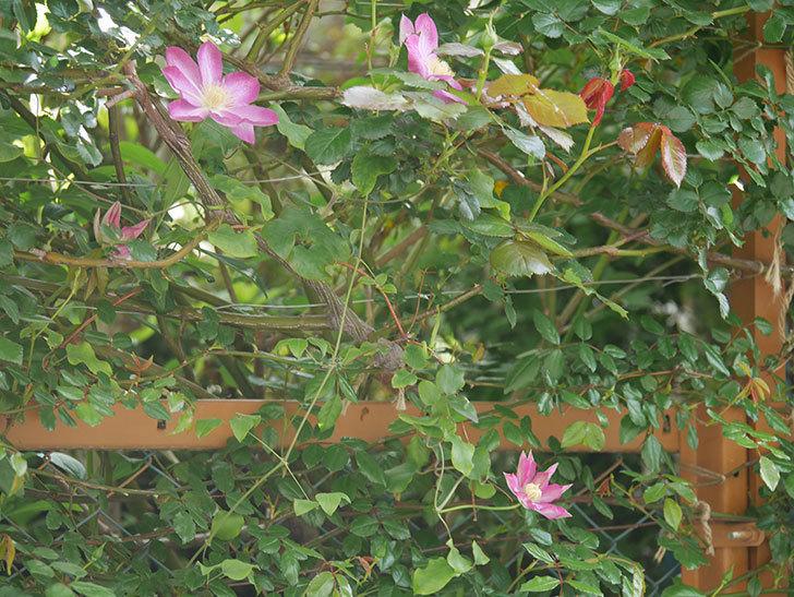 麻生(アサオ)(早咲き大輪系 パテンス系 旧枝咲き)の花が増えてきた。2021年-013.jpg