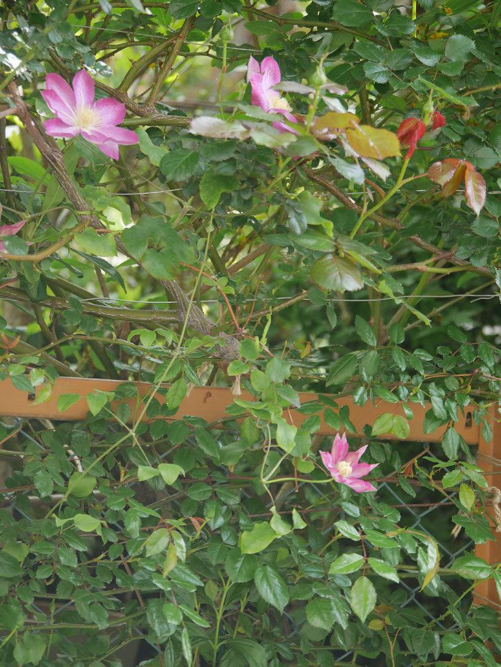 麻生(アサオ)(早咲き大輪系 パテンス系 旧枝咲き)の花が増えてきた。2021年-014.jpg