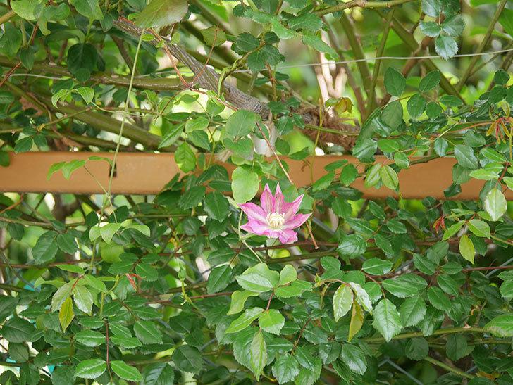 麻生(アサオ)(早咲き大輪系 パテンス系 旧枝咲き)の花が増えてきた。2021年-015.jpg