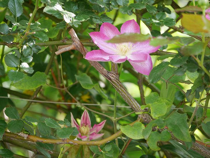 麻生(アサオ)(早咲き大輪系 パテンス系 旧枝咲き)の花が増えてきた。2021年-018.jpg