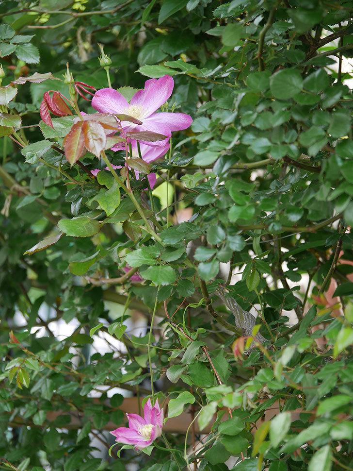 麻生(アサオ)(早咲き大輪系 パテンス系 旧枝咲き)の花が増えてきた。2021年-021.jpg