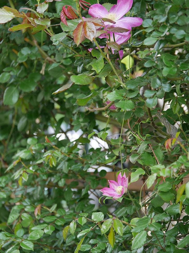 麻生(アサオ)(早咲き大輪系 パテンス系 旧枝咲き)の花が増えてきた。2021年-022.jpg