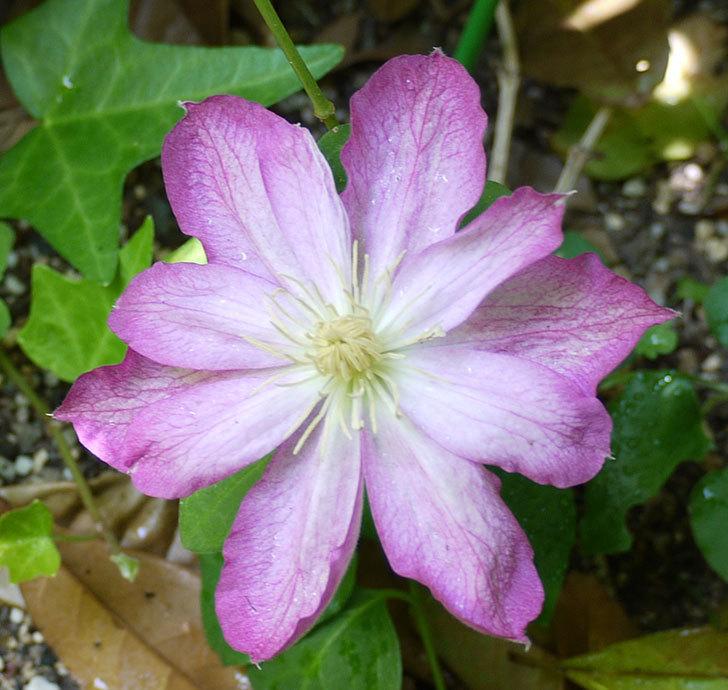 麻生(アサオ)(早咲き大輪系パテンス系 旧枝咲き)に2個目の花が咲いた。2017年-2.jpg