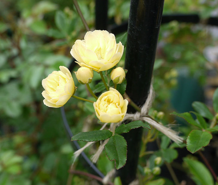 黄モッコウバラが咲きだした。2017年-1.jpg