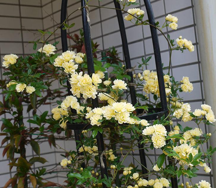 黄モッコウバラ(ツルバラ)がたくさん咲いた。2017年-1.jpg