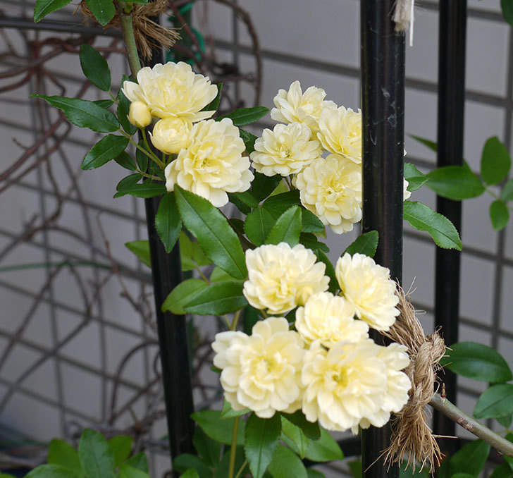 黄モッコウバラ(ツルバラ)がたくさん咲いた。2017年-2.jpg