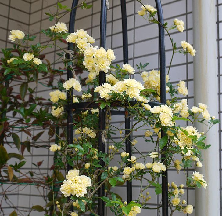 黄モッコウバラ(ツルバラ)がたくさん咲いた。2017年-3.jpg